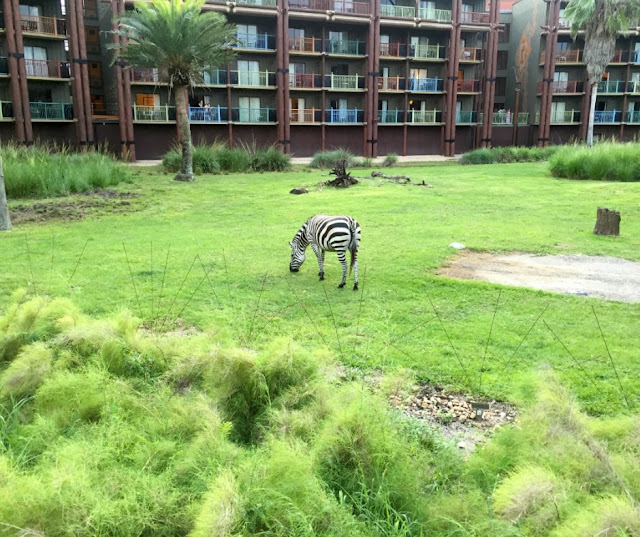 animal-kingdom-lodge-zebra