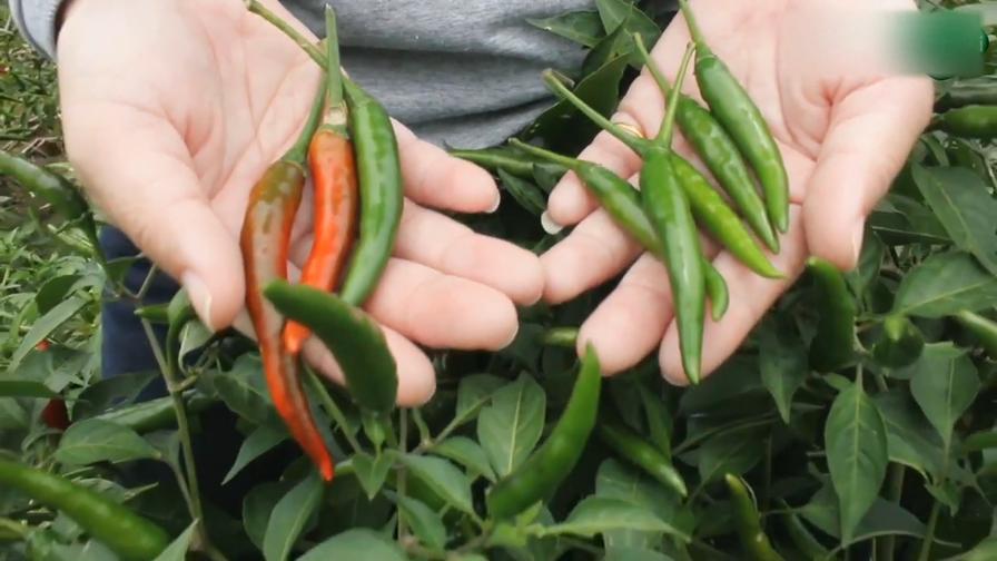 produsen benih cabai