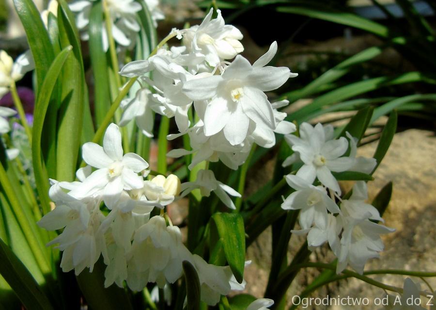 Puschkinia scilloides var. libanotica alba