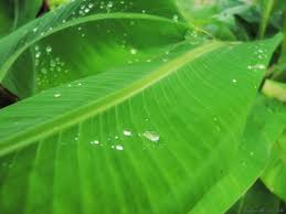 Banana leaf skin benefits