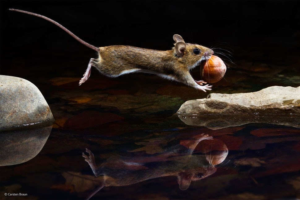 Finalists Of The 2014 Wildlife Photographer Of The Year Competition Yellow-Necked Mouse by Carsten Braun photography