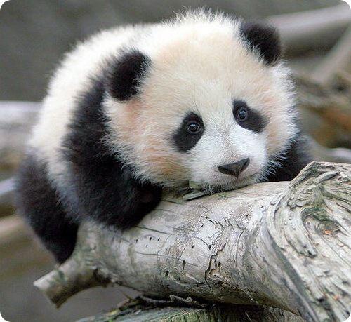 Pink Panther Wallpaper Iphone Cool Images Cute Panda Pics