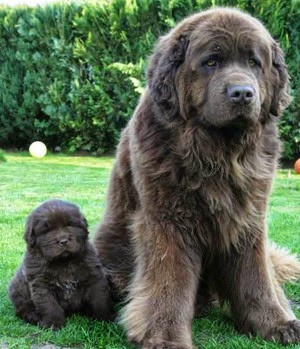Neat Freaks Need Not Consider The Newfoundland Because His Long Heavy Coat Is A Mud Burr Dirt Magnet He Especially Skilled At Tracking And Debris