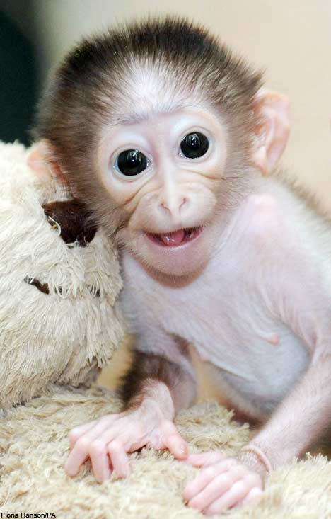 Cute Baby Monkeys Wallpaper Image Gallary 7 Beautiful Smiling Monkey Pictures Baby