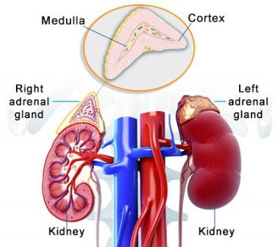 Jenis dan Fungsi Hormon Pada Kelenjar Adrenal