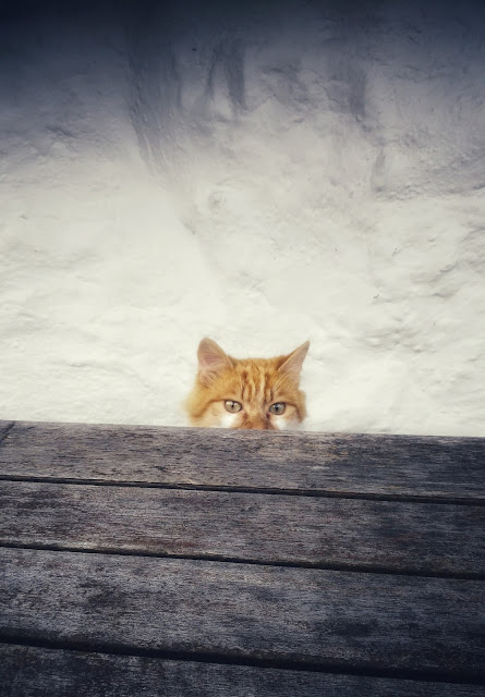 cat, peaking over a table