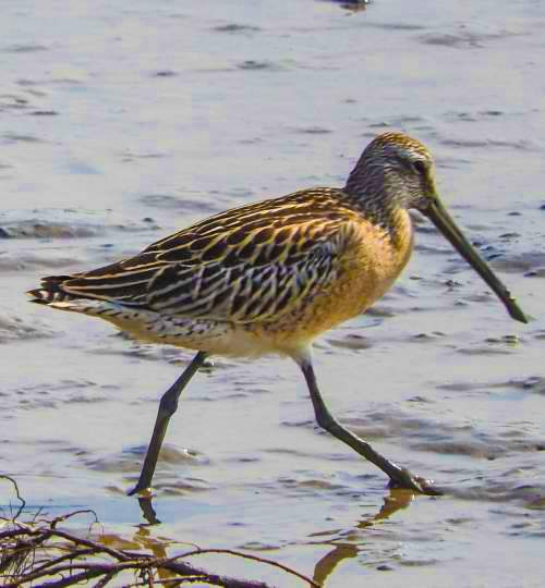Indian birds - Image of Asian dowitcher - Limnodromus semipalmatus