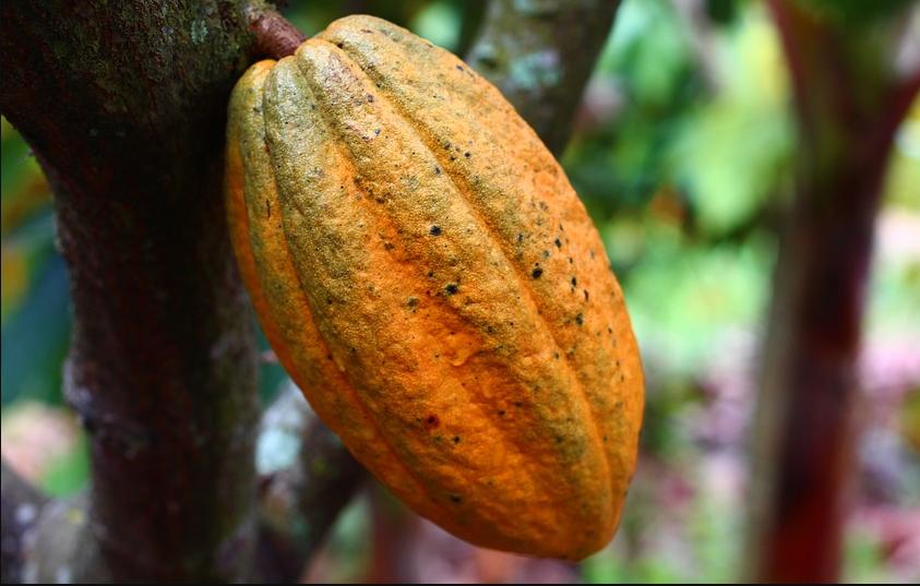 Panduan Teknis Budidaya Tanaman Kakao Mudah untuk Pemula