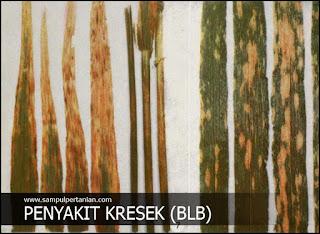 Mencegah dan mengendalikan Penyakit Kresek atau Hawar daun Bakteri (BLB) pada tanaman padi