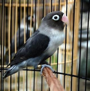 2 Ciri Ciri Akurat Burung Lovebird Mental Fighter Yang Tentunya Harus Anda Ingat