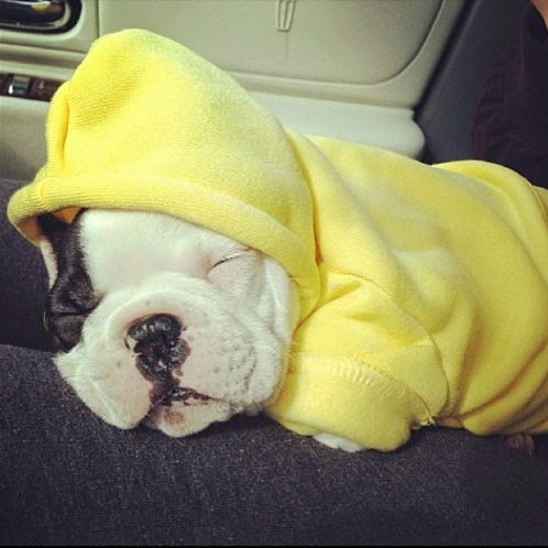 Baby Frenchie Viggo looking soooooooo sweet snuggled up in his cozy yellow hoodie