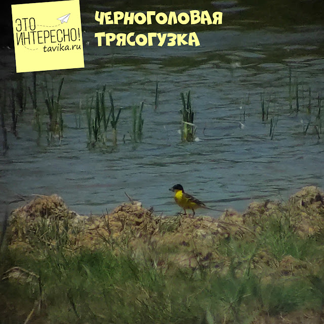 черноголовая трясогузка на озере Кызыл Яр