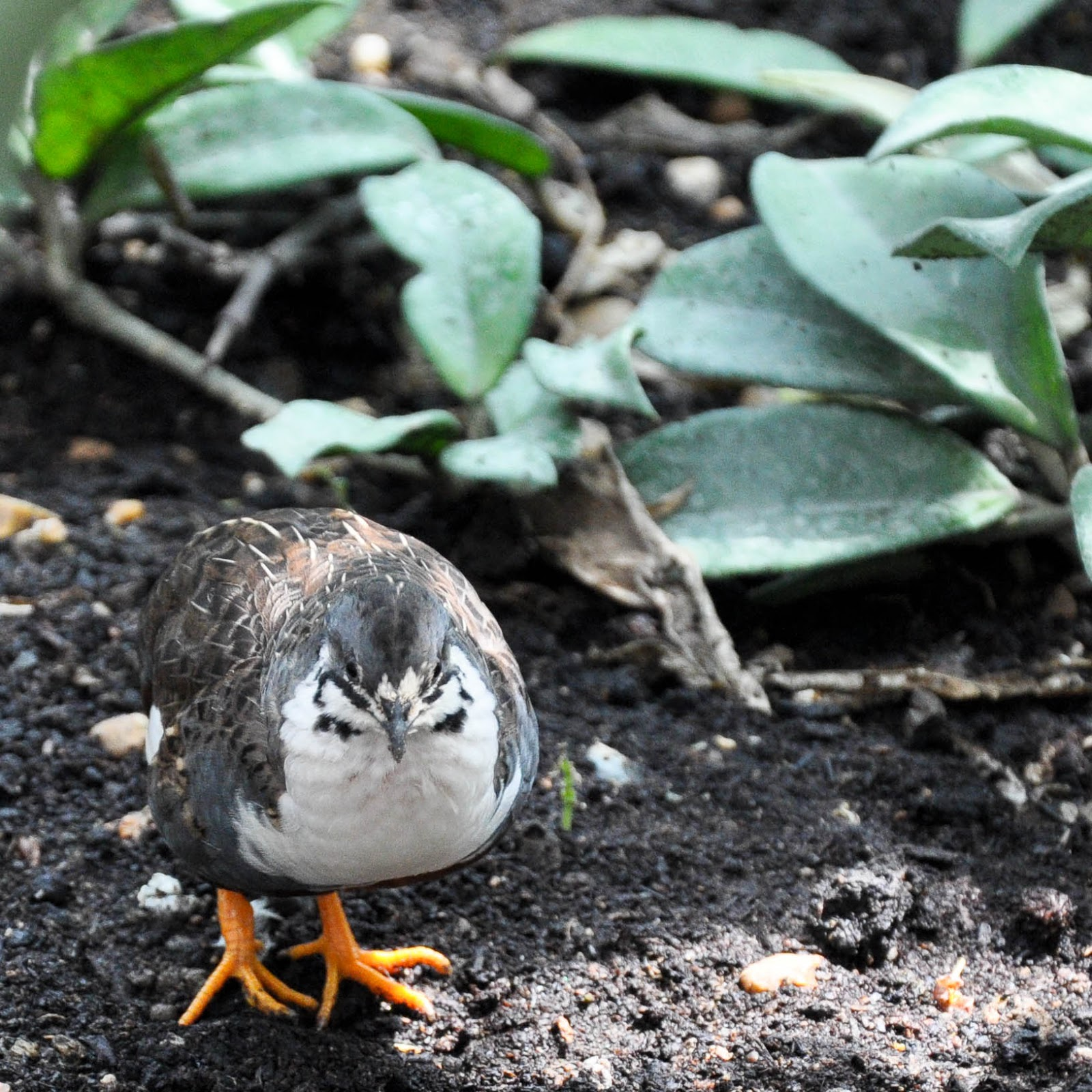 A tiny quail, Tropical Butterfly House, The Butterfly World Project, St. Albans, Herts, UK