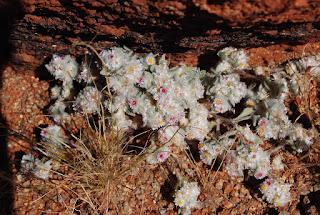 Helichrysum roseo-niveum