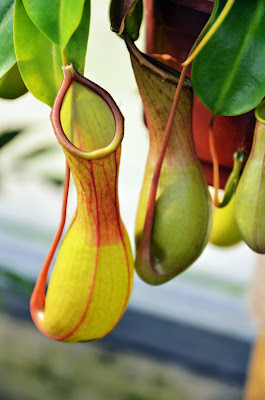 Pitcher Plant Nature Did It First Biomimicry Engineering STEM Challenge