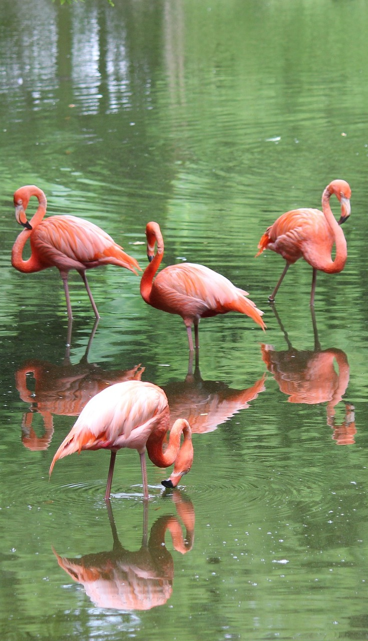 Beautiful flamingos with their reflections.