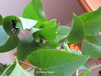 Thanks to their shape, lilac leaves provide ideal shelter for monarch caterpillars to pupate - © Denise Motard