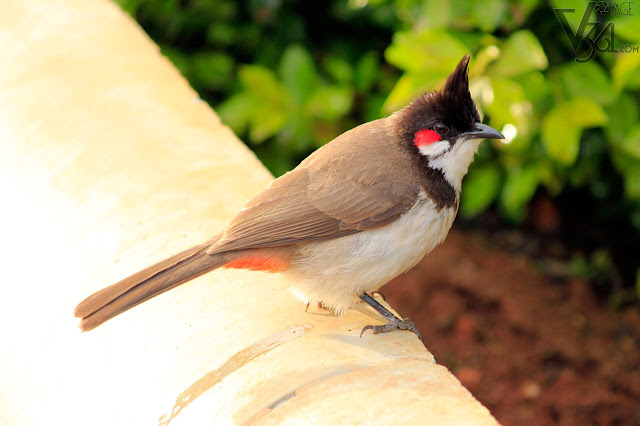 Red-whiskered bulbul at Ooty