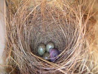 Telur murai gagal netas