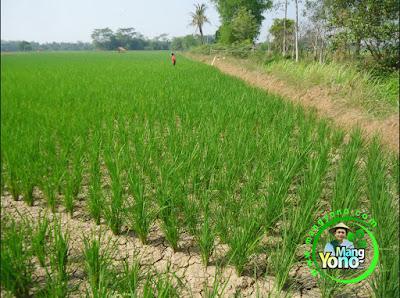 FOTO 2 : Tanaman padi TRISAKTI saya di musim kemarau