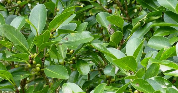 Pohon Ficus Retusa