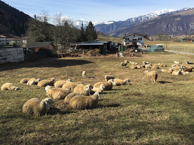 Bergamasca sheep in Clusone