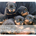 ROTTWEILERS FAQ'S : WHAT'S GOOD ABOUT THEM? WHAT'S BAD ABOUT THEM?