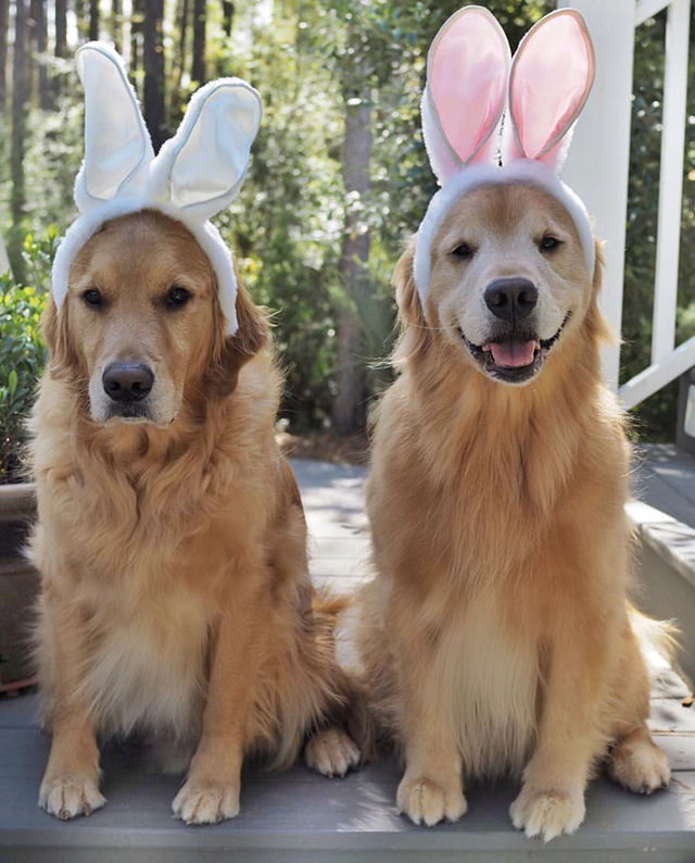 Golden Retrievers Easter
