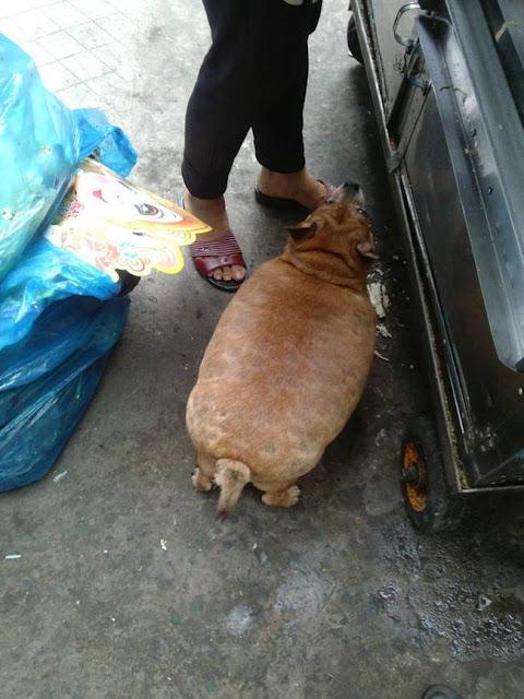 Chú chó béo trông như quả mít biết đi xứng danh dễ thương nhất quả đất!