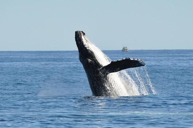 Quando un colpo di tosse ti salva: pescatore rischia di essere inghiottito da una balena