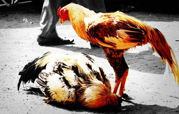 Cara Jitu Melatih Mental Ayam Bangkok Aduan