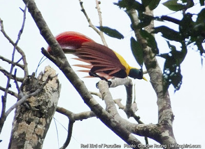 Red Bird of Paradise in Waigeo island
