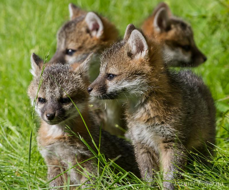 Domestic silver fox kits