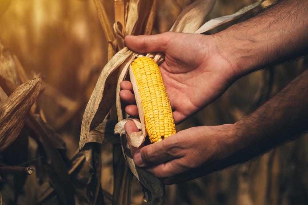 La leyenda del maíz: ¡Una historia que te encantará!