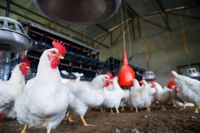 Full Guide On Making Money Doing Poultry Business