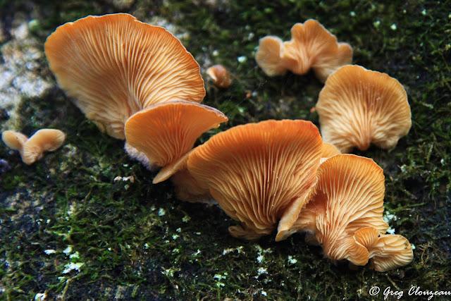 A peine assassiné par le bucheron, ce tronc de hêtre est déjà colonisé par les champignons, Bas Cuvier, Fontainebleau