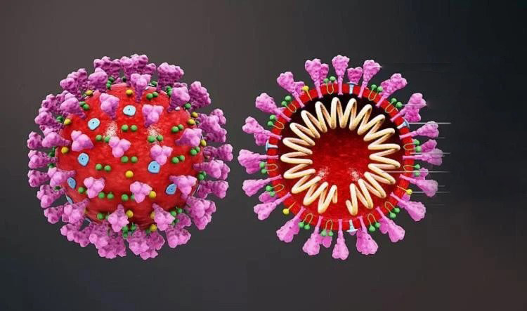 Why The New Corona Virus Is So Powerful, It Reveals The Whole Process Of The Life Cycle Of The Virus After Entering The Human Body