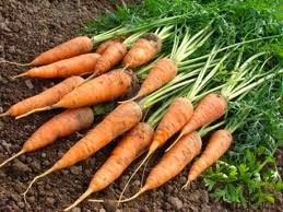 Sembrar Zanahorias