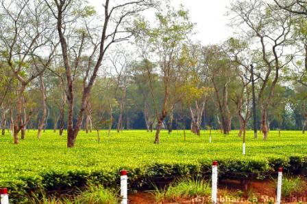 List of  top 13 Tea Gardens in Assam