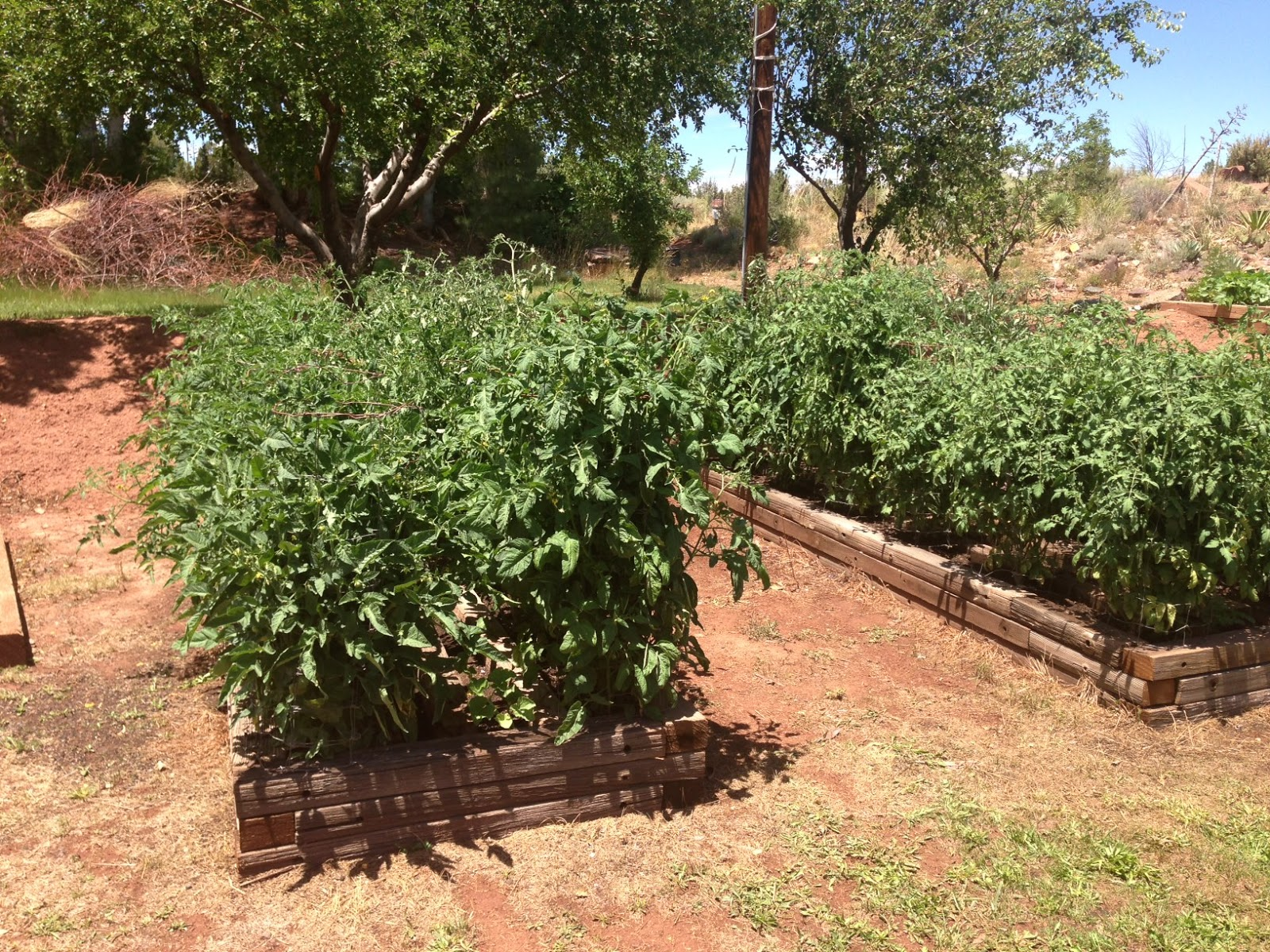 Young Tomato Plants Need Protection From The Wind For At Least 3 To 4 Weeks You Will Have Better Earlier Tomatoes Enjoy Later Dusty