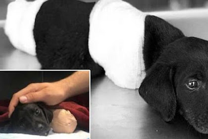 Police Are Looking For The Person Who Chopped Off This Puppy's Legs And Tail And Left It For Dead