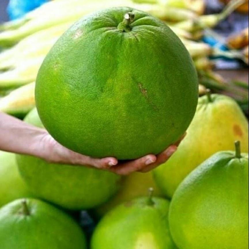 Bibit jeruk bali 2 4bulan pasti berbuah setelah tanam Lampung