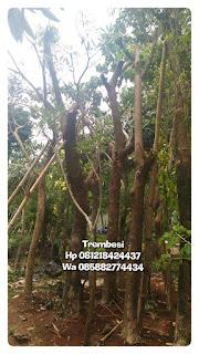Harga jual pohon trembesi batang besar harga paling murah