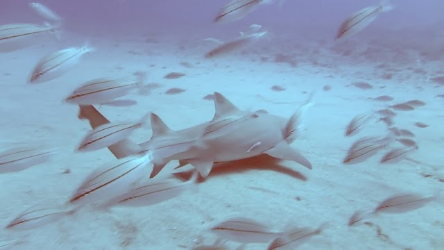Lemon Sharks 7-12-14