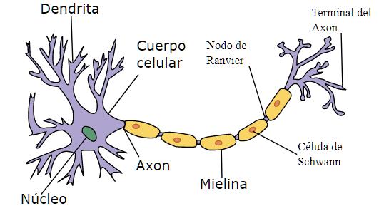 neurona, sistema nervioso