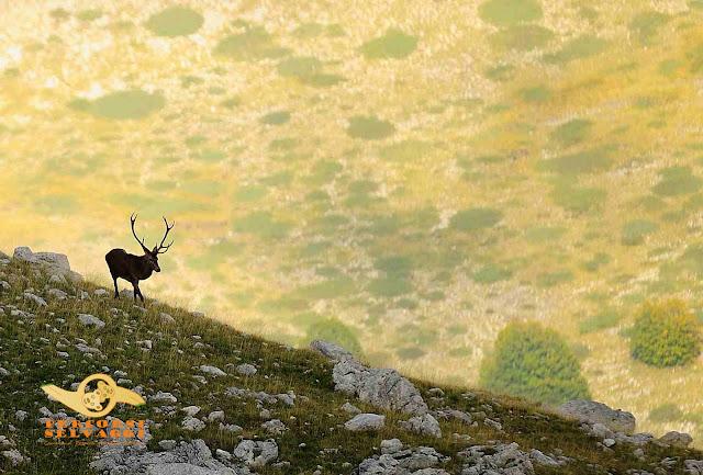 cervo sul crinale