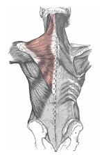 Músculos de la espalda imagen