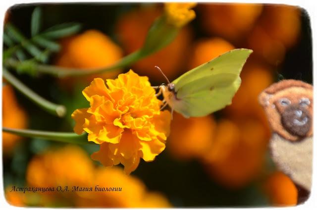 бархатцы-бабочка-лимонница