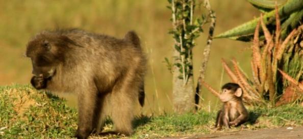 Primates y busqueda de alimento