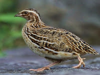 Panduan Lengkap Seputar Jenis Burung Puyuh dan Makanan Burung Puyuh Petelur